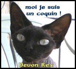 l'abyssin chat