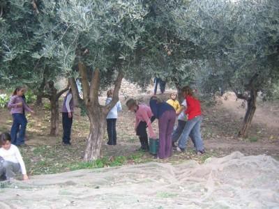 cueillette des olives par les enfans des écoles (2006)