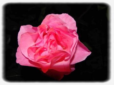Ma rose de nuit