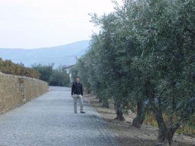 des oliviers