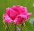 Perles de Rose ...