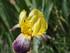 Les iris ...