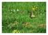 Pic vert ( Picus viridis)