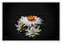 Xerochrysum bracteatum - Immor