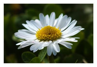 fleur de paradis