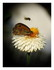 Xerochrysum bracteatum - Immortelle à br