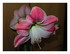 Mon amaryllis en fleurs