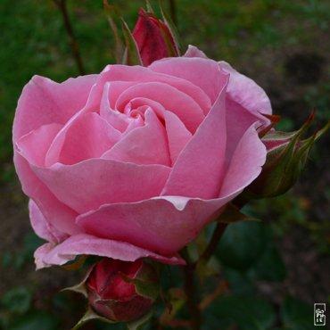 ptite-rose-noire123551254445_gros.jpg