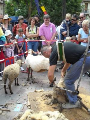 Tonte de mouton.