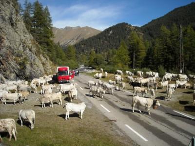 La route plus large permet un arrêt du troupeau sans perturber la circulation.