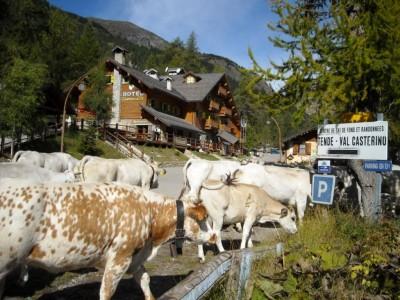 Arrivée des vaches dans Castérino.