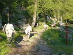 Les vaches sont sur le chemin...