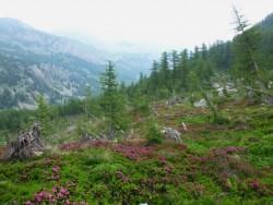 Les rhododendrons ont remplacé le bois  emporté par les avalanches.