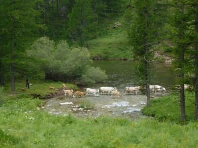 A la Minière, les vaches sont rassemblées pour la traite du soir.