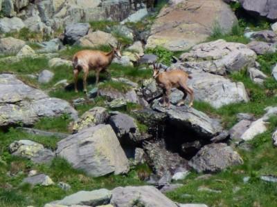 Dans l'enceinte protégée du Parc National du Mercantour, les guides vous feront également découvrir les habitants du lieux : Chamois, bouquetins et marmottes sont ici chez eux.