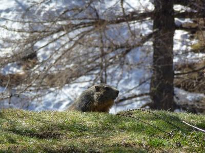 Des marmottes !