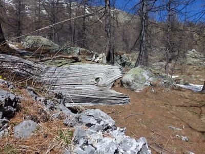 Dans ce morceau de tronc, j'ai vu une murène... prête à engloutir un caillou !