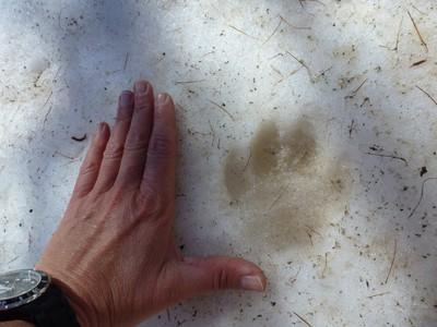 La trace du passage d'un chihuahua ?!