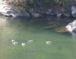 Canards cols verts sur le lac vert...