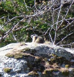 Jolie Marmotte au départ du sentier Bicknell