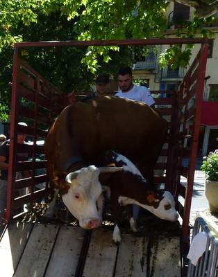 Une vache et son jeune veau... un peu intimidés par la foule.