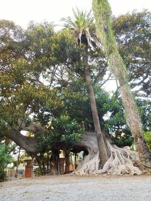 Impératif ! Se retourner pour admirer le Ficus !