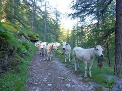 6h30, les vaches sont sur la piste