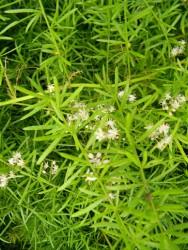 Cote fleurie for Asperge plante interieur