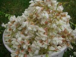 les grappes de fleurs d'acacia. Quel parfum !