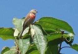 linotte mâle sur un cerisier