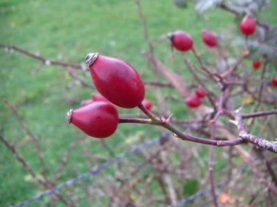 cynorhodon (fruit de l'églantier)