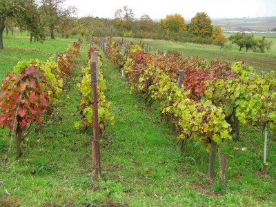 vigne rougeoyante