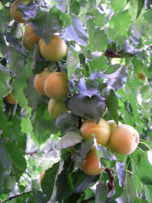 abricots moyenvicois