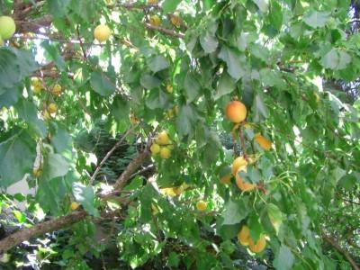 des abricots à profusion